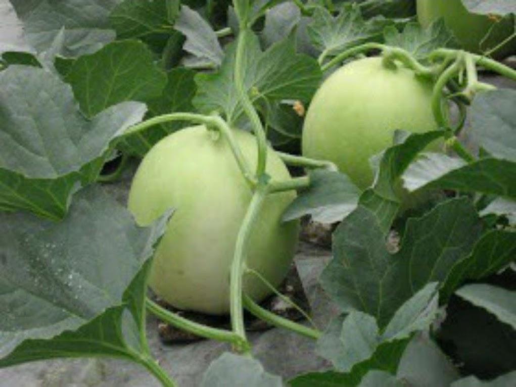 Benih Buah Melon Putih Greenflesh Honeydew Daily Farm Daerah Istimewa Yogyakarta