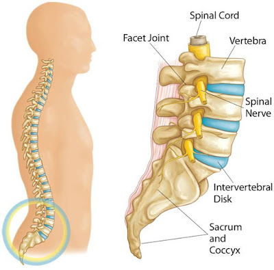 العمود الفقري القطني  (The Lumbar Spine)