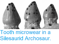 http://sciencythoughts.blogspot.co.uk/2013/10/tooth-microwear-in-silesaurid.html