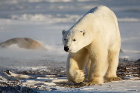 Polar bear in Churchill original