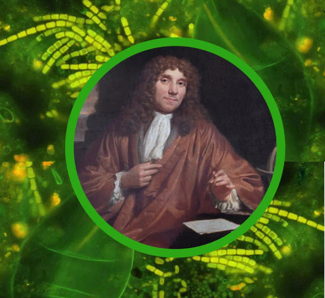 The credit for having first observed and reported bacteria belongs to Antony van Leeuwenhoek. Antony van Leeuwenhoek, the Dutchman, was a draper and haberdasher in Delft, Holland.