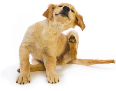 Alergjska reakcija uzrokuje konstantno češanje životinje