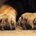 Δικογραφία σε βάρος 45χρονου για τη δηλητηρίαση δύο σκύλων με φόλα στην Αριδαία