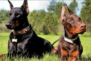 كلاب الدوبرمان