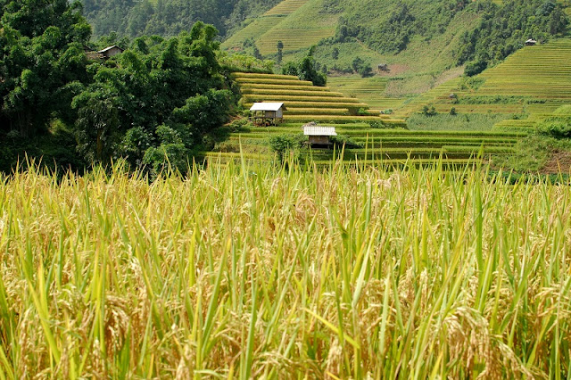 Top Ideal Places To See Amazing Rice Terraced In Northern Vietnam 4