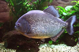 سمكة البيرانا Piranha fish