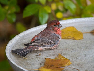 Photo of a male House Finch bathing in a bird bath