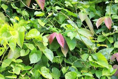 Lagarto Verde en Tortuguero