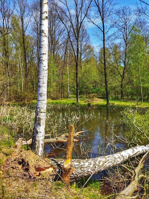 bobry w Arboretum, ich życie i zadanie na mokradłach