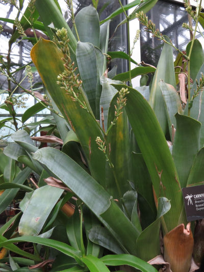 brocchinia reducta at Meijer Gardens