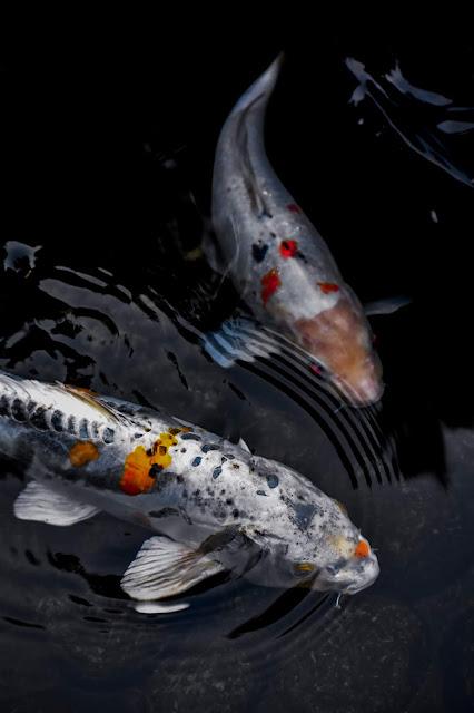 Dos peces Koi en el agua