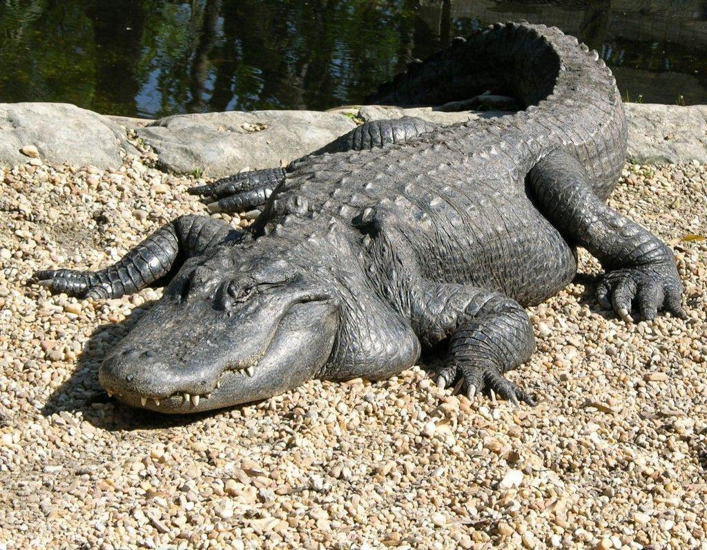 amazing Alligator Wild Animal, Wallpapers Animals