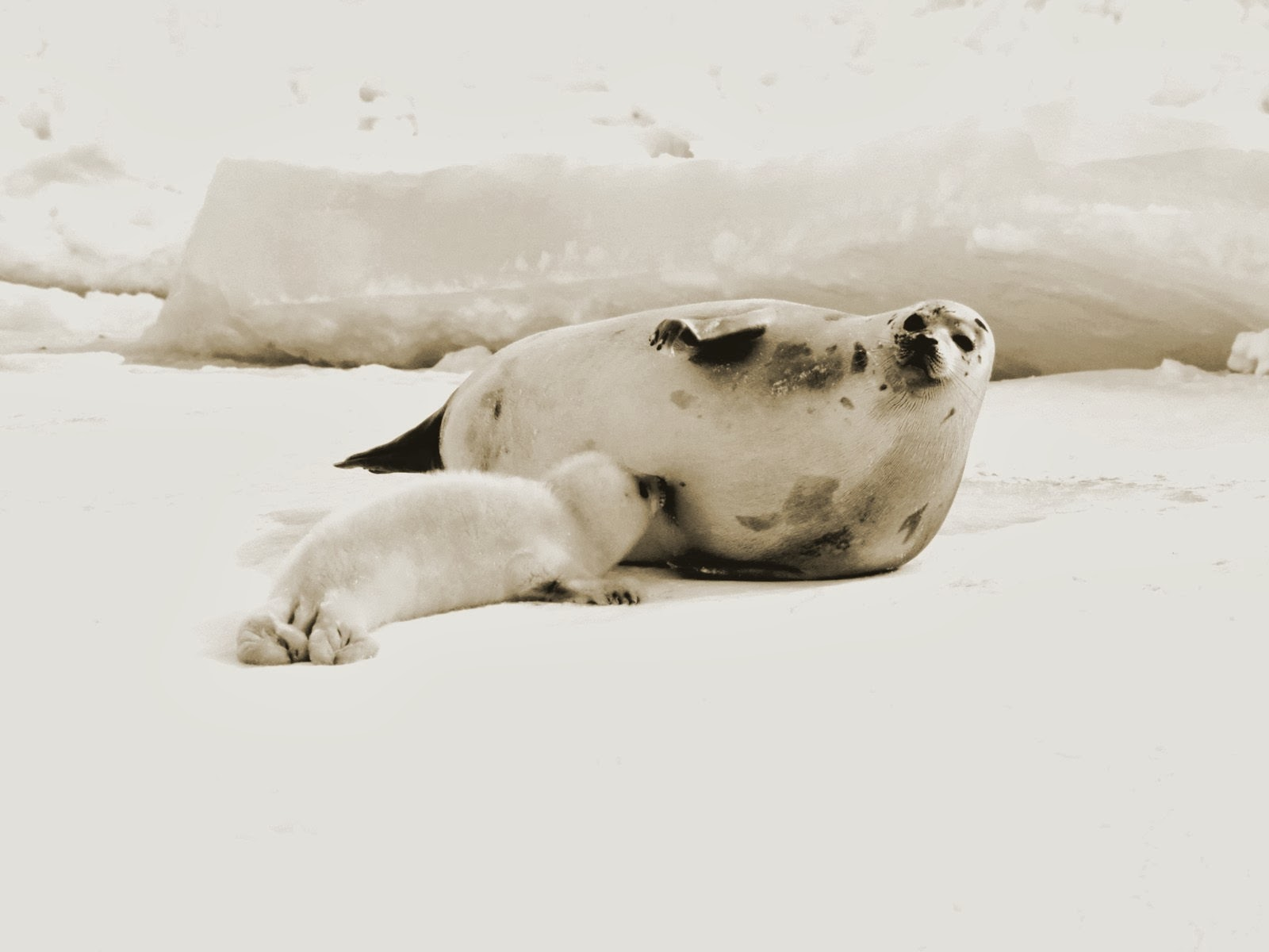 Harp Seal HD Wallpapers