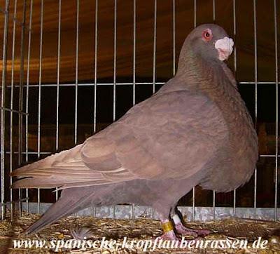 Granadino Kröpfer - pouter pigeons