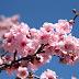Japanese cherry blossom festival kicks off in Hanoi in March next