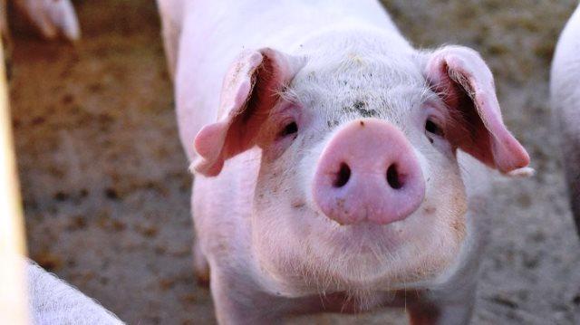 Studi dari Cina Peringatkan Potensi Pandemi Virus Baru dari Babi