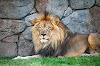 सिंह माहिती - Lion information in marathi