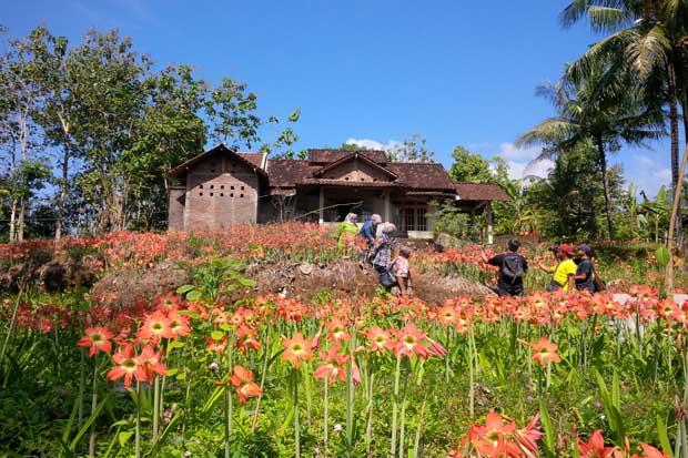 Taman bunga amarylis di Patuk, gunung kidul