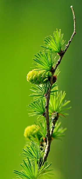 خلفية الأوراق المدققة الخضراء لغصن شجرة الصنوبر