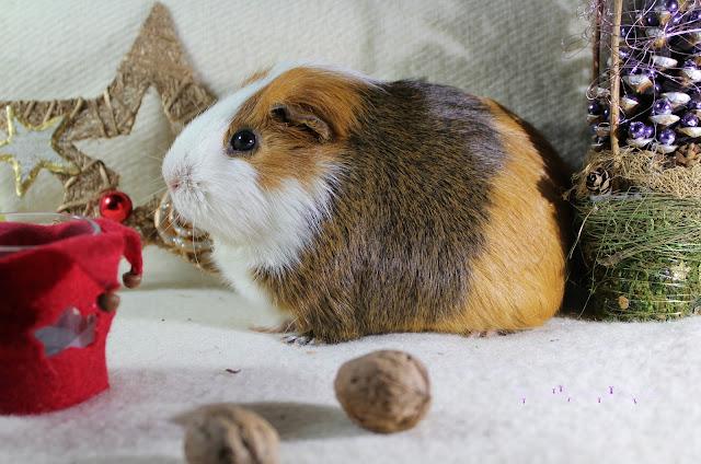 Meerschweinchen Weihnachten Deko