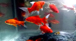 Jenis Ikan Komet Merah