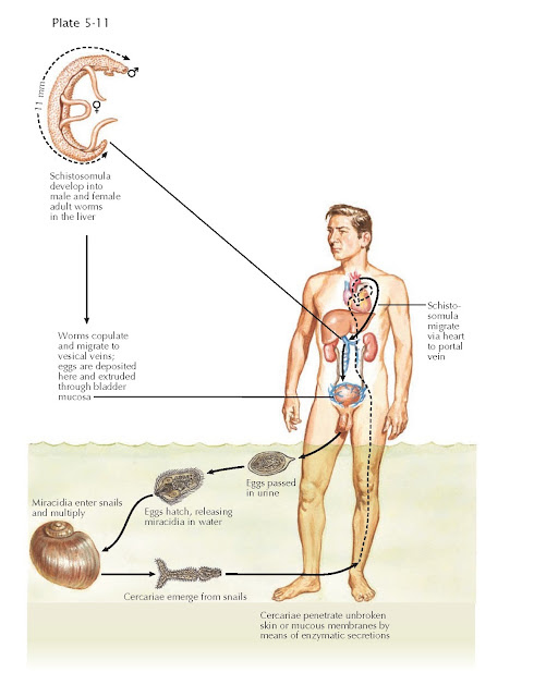 LIFE CYCLE OF SCHISTOSOMA HAEMATOBIUM