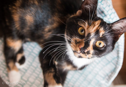 tortoiseshell cat looking up at the camera