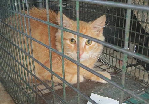 Kitten food for starving adult cat