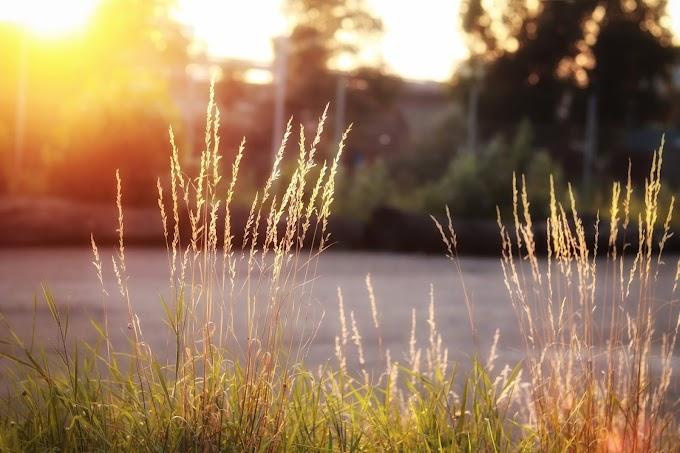 Grasses bathed in golden light