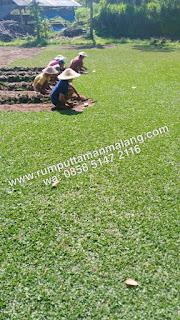 Rumput gajah mini Ngawi untuk taman rest area tol asal rumput dari malang