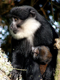 L-hoerst Monkeys and primates in Bwindi