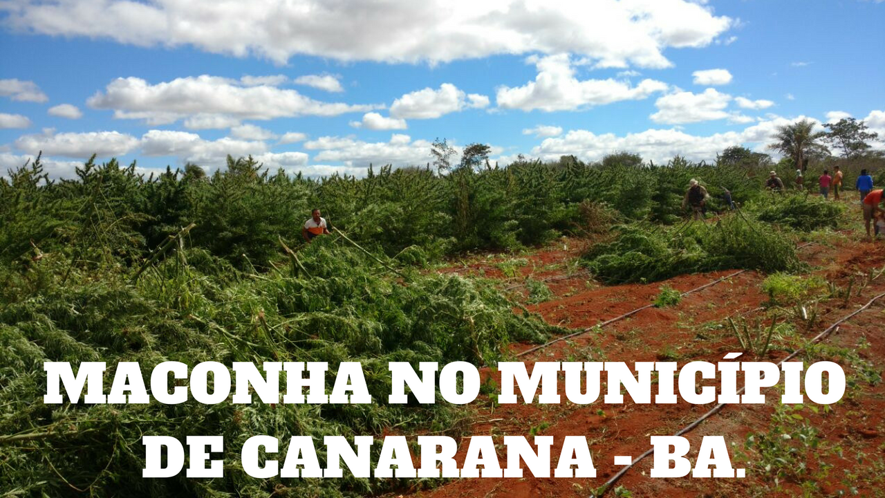 Image result for POLICIA MACONHA  CANARANA BAHIA