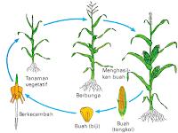 Menganalisis Pertumbuhan dan Perkembangan pada Tumbuhan-Biologi Kelas XII MIPA SMA-MA