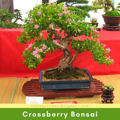 Crossberry Bonsai