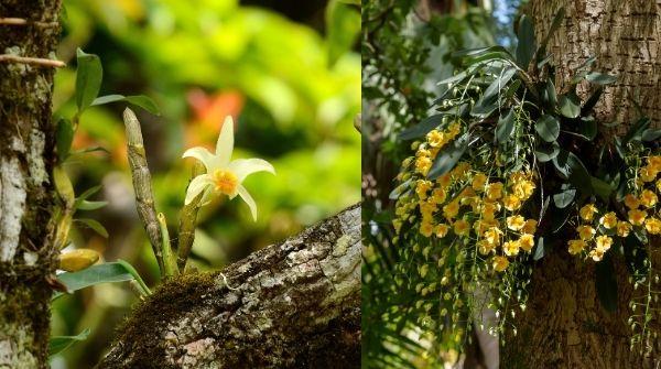 Wild  Dendrobium Heterocarpum |Golden-Lip Dendrobium