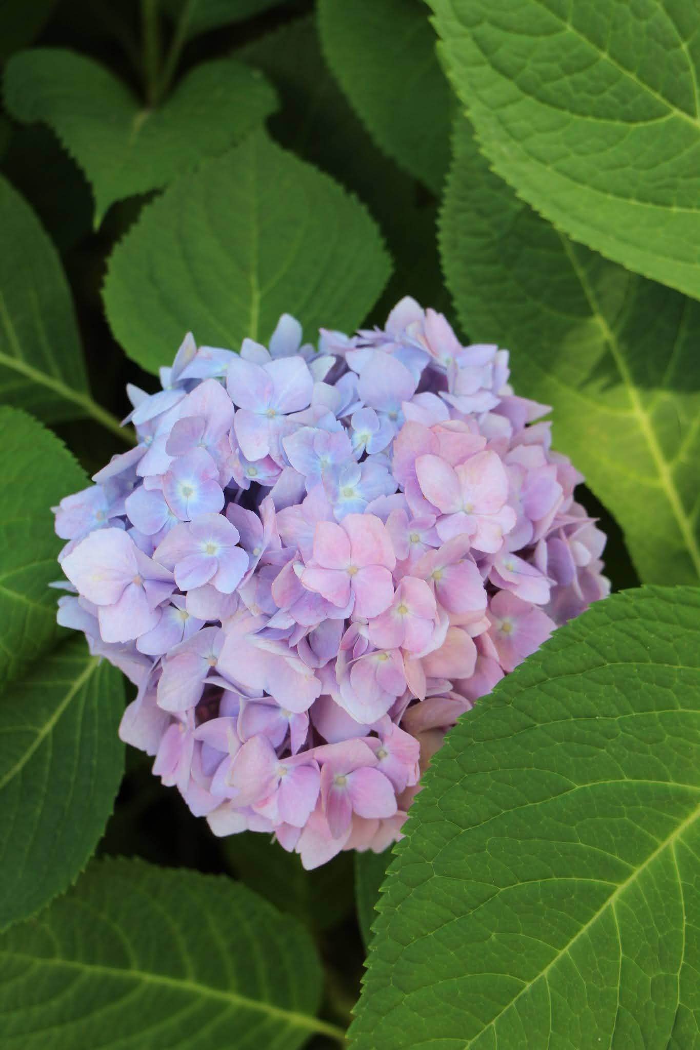 flowers, hydrangeas, long island