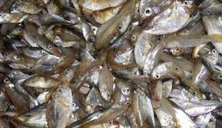 Cara Mudah Beternak Ikan Lele Supaya Cepat Besar dan Panen