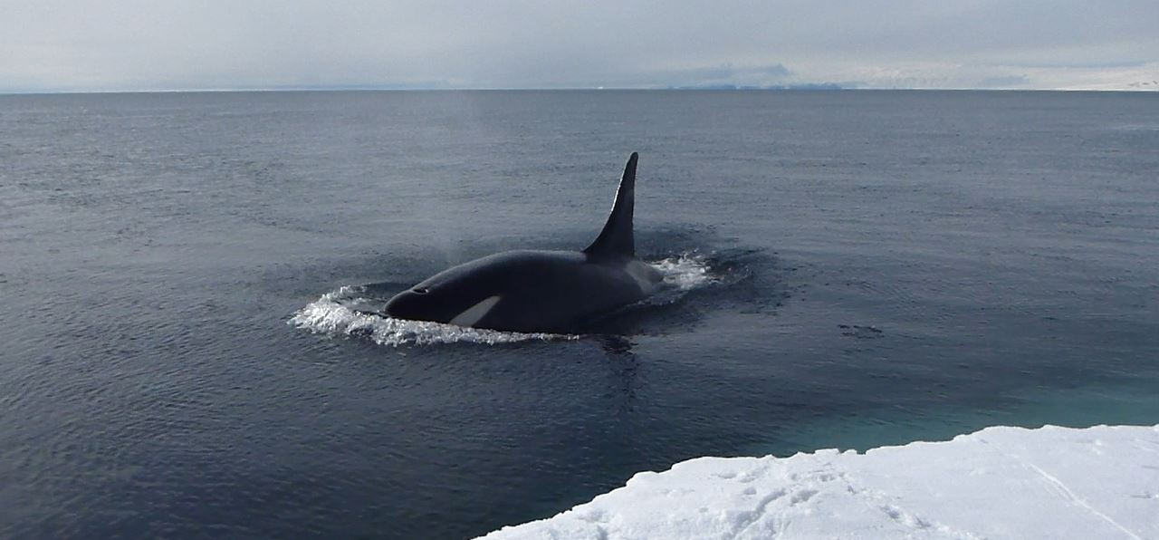 killer whale (orca) breaching beside the sea ice in antarctica