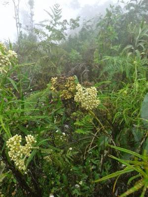 bunga edelweis di gunung prau