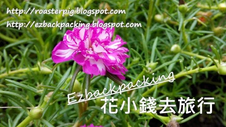 大花馬齒莧 香港