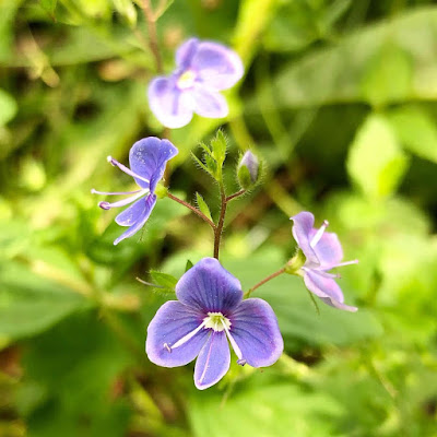 Nurmitädykkeessä on pienet siniset kukat