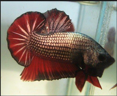 Ikan Cupang Plakat halfmoon