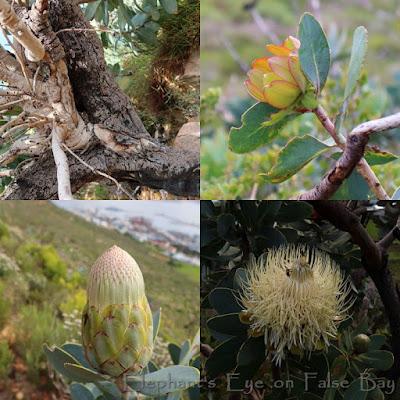 Protea nitida waboom in August