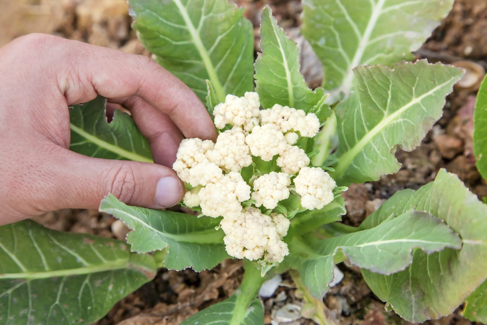 Buttoning of Cauliflower