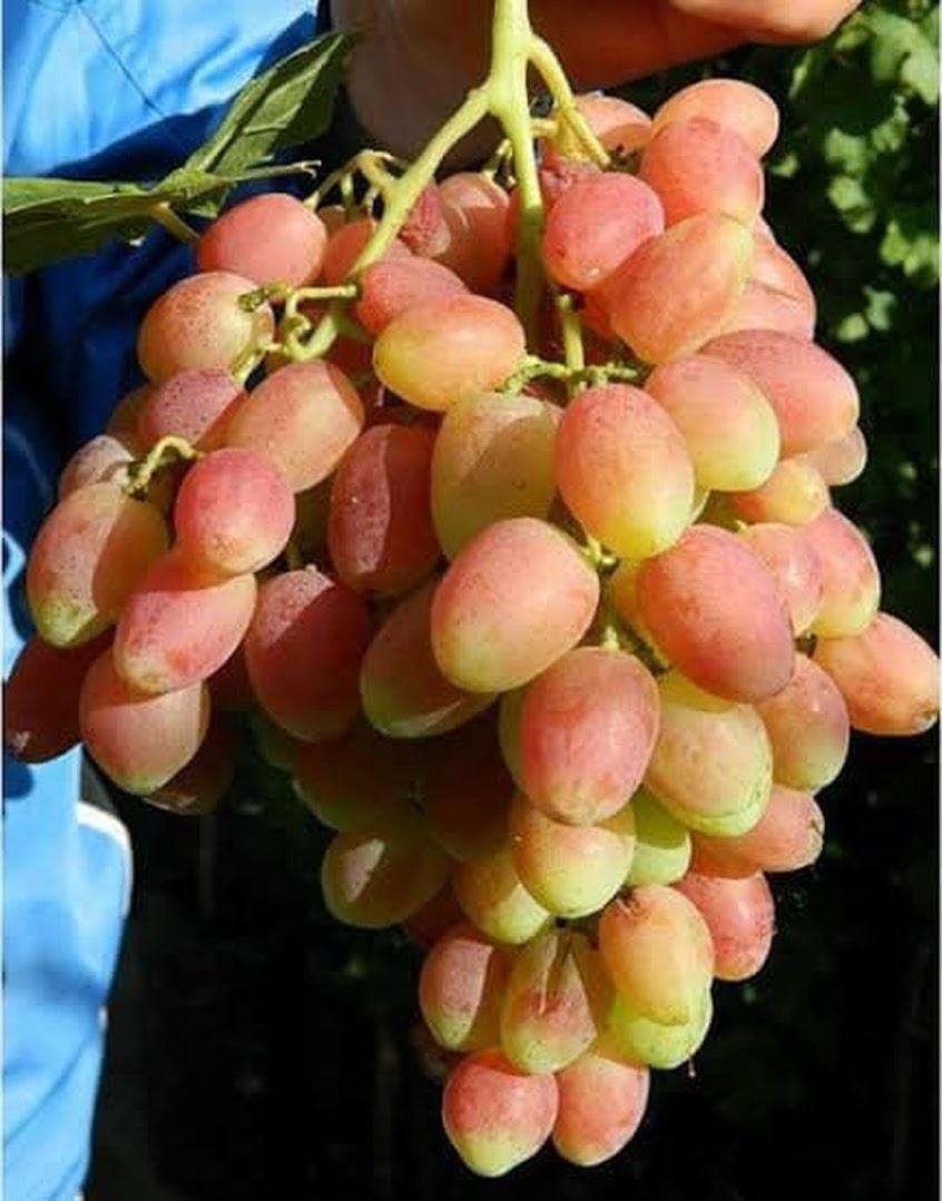 Ori Bibit Anggur Angelica Grafting Anggur Impor Angelica Kotamobagu
