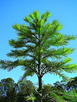 A vibrant green Wollemi Pine tree against a bright blue sky.