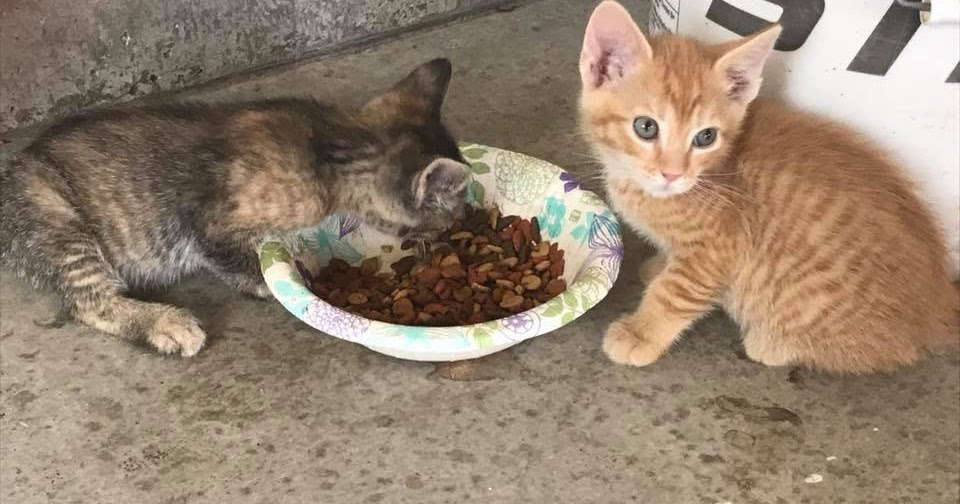 Umur Berapa Anak Kucing Boleh Dikenalkan Makan Wf Df Nasi Litter