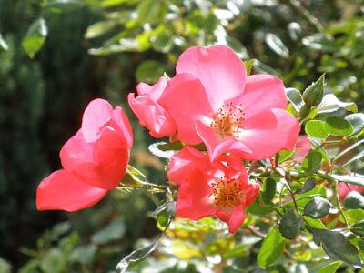 Rosa gallica, Parque Gasset de Ciudad Real, Spain, public domain image
