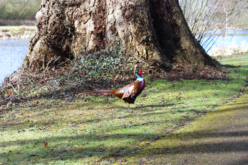 Pheasant at Rushton Hall, Northamptonshire - UK luxury travel blog
