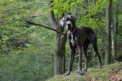 الكلب الدانماركي الضخم- الدرواس الألماني Great Dane